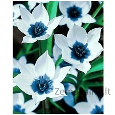 Deimantines mozaikos rinkinys - BLUE EYE TULIPS WD034