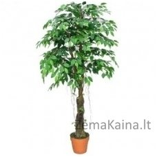 Dirbtinis augalas Fikusas II