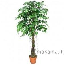 Dirbtinis augalas Fikusas OBBB