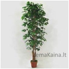 Dirbtinis augalas Fikusas III