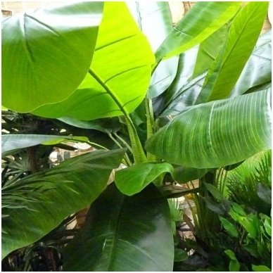 Dirbtinis augalas Bananas 2