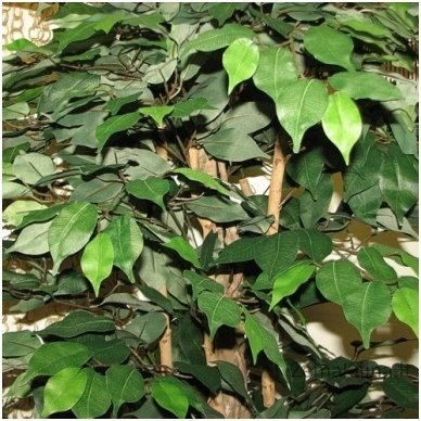 Dirbtinis augalas Fikusas I 2