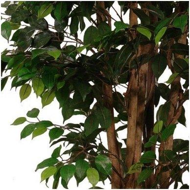 Dirbtinis augalas Fikusas III 2