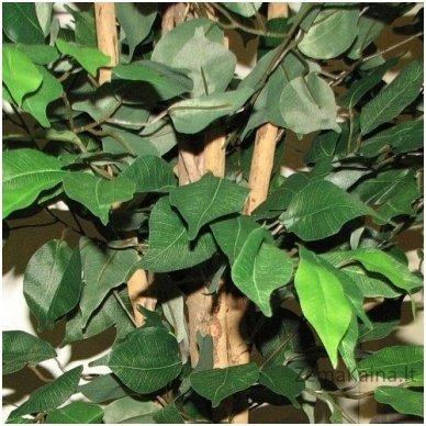 Dirbtinis augalas Fikusas III 3