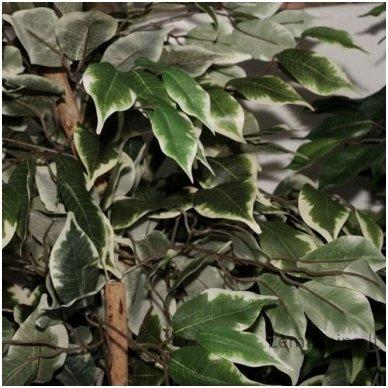 Dirbtinis augalas Fikusas IV 3
