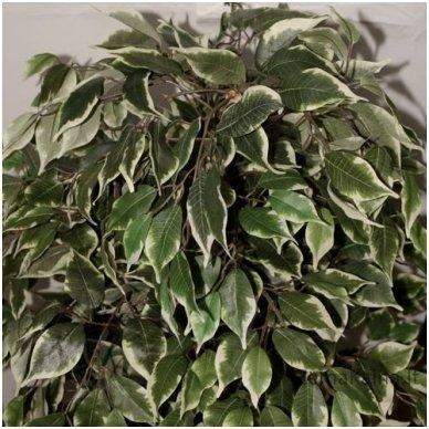 Dirbtinis augalas Fikusas IV 2
