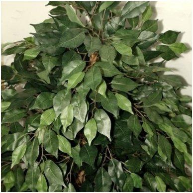 Dirbtinis augalas Fikusas V 4
