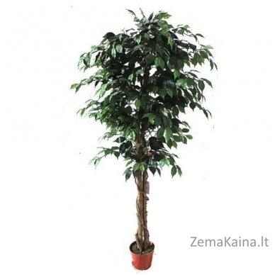 Dirbtinis augalas Fikusas V
